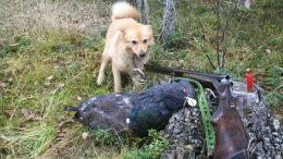 Jakthund som står bredvid en skjuten skogsfågel. Ett gevär står lutat mot en sten.