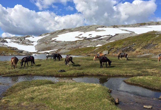 Islandshästarna betar i fjällen.